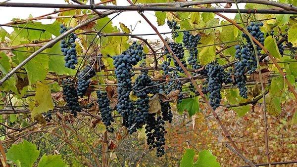 Винные технические сорта винограда с описанием, характеристики и фото