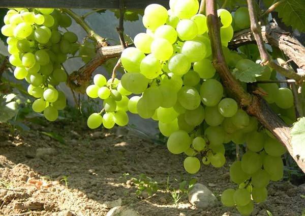 Ранние сорта винограда с описанием, характеристики и фото