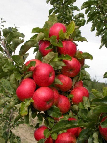 Колоновидные яблони от А до Я - сорта, посадка и уход, формирование