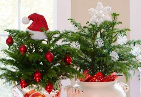 Араукария домашняя вместо елки - уход и выращивание с фото