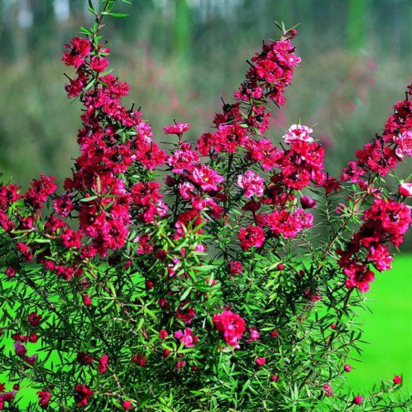 Комнатные растения из Австралии ТОП-5 с фото и названием