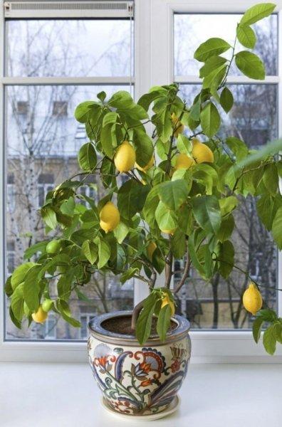 Выращивание лимонного дерева в домашних условиях с фото и видео