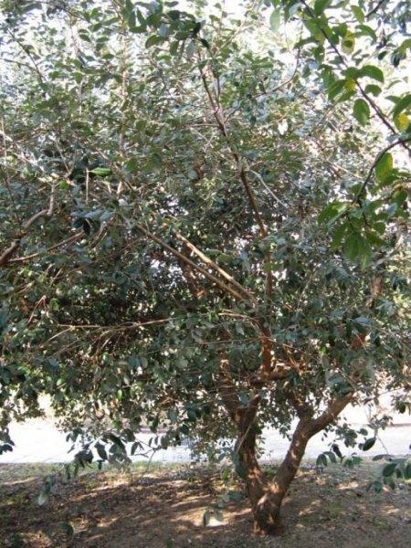 Фейхоа в домашних условиях - выращивание и уход