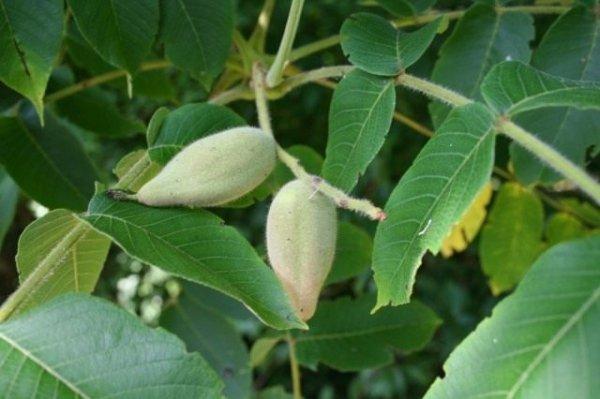 Лечебные свойства маньчжурского ореха - описание, применение
