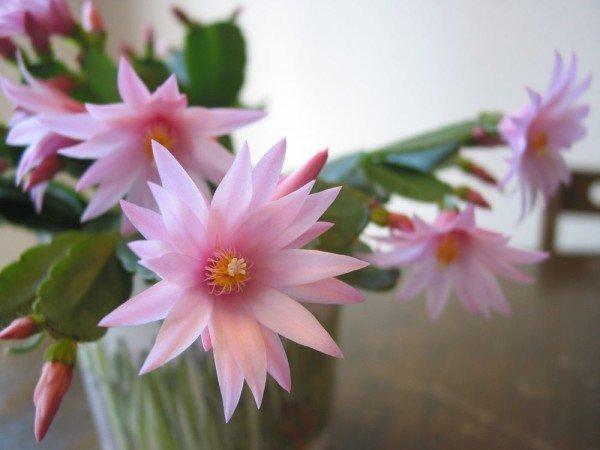 Хатиора уход за цветком в домашних условиях с фото и видео