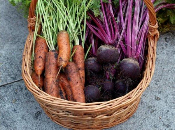 Когда копать морковь и свеклу - сроки и признаки созревания