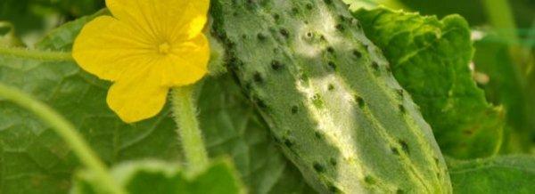 Чем подкормить огурцы в открытом грунте, если желтеют листья
