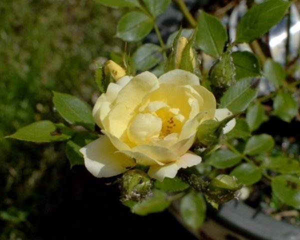 Тля на розах чем обработать, как избавиться народными средствами