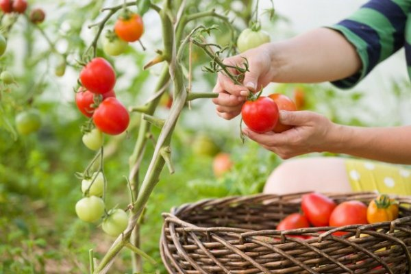 10 советов по выращиванию помидоров и 10 ошибок