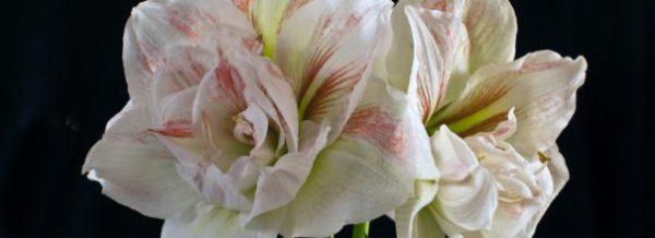 Амариллис уход за цветком в домашних условиях с фото и видео