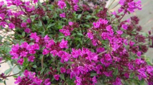 Тимьян ползучий или Чабрец - свойства и выращивание