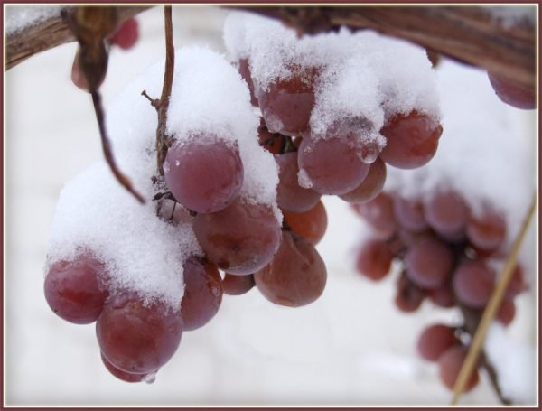 Защита винограда от морозов и укрытие винограда зимой