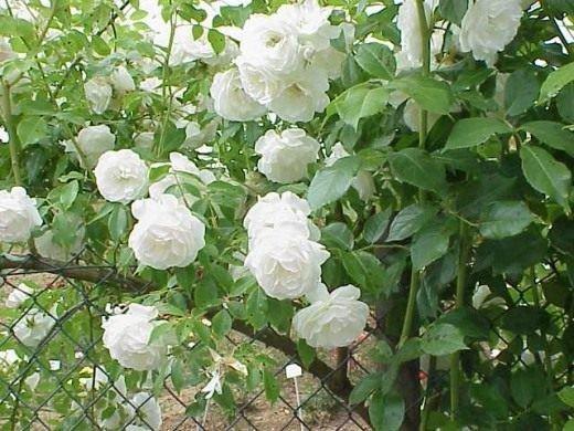 Роза плетистая - уход в домашних условиях, выращивание