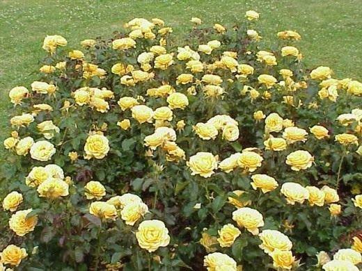 Розы на даче от А до Я - посадка, выращивание и уход