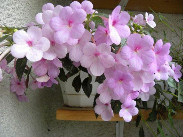 Ахименес все нюансы ухода за цветком и его выращивания в домашних условиях с фото и видео