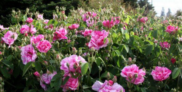 Календарь ухода за миниатюрными розами 2019 по месяцам