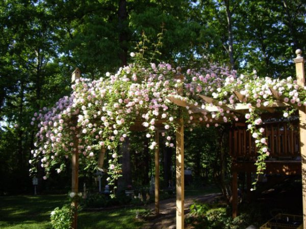 Розы клаймеры фото иТОП-10 писаний сортов, посадка и уход
