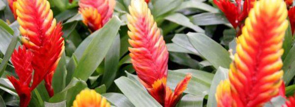 Вриезия все нюансы ухода за цветком в домашних условиях с фото и видео