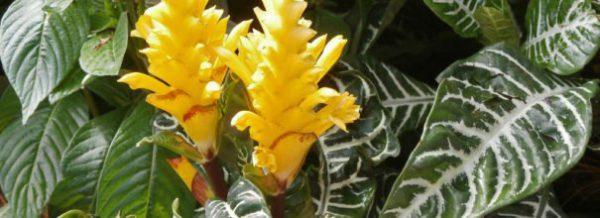 Афеландра все нюансы ухода за цветком в домашних условиях с фото и видео