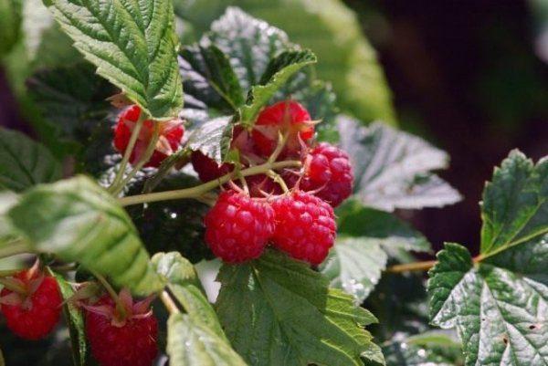 Чего не хватает малине и как увеличить урожай малины
