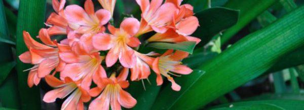Кливия все нюансы ухода за цветком в домашних условиях с фото и видео