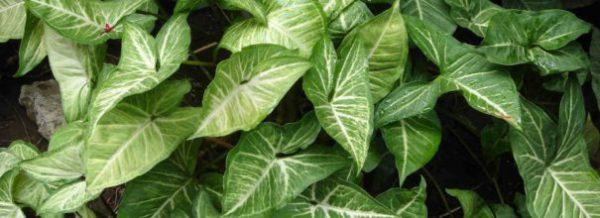 Сингониум все нюансы ухода за растением в домашних условиях с фото и видео