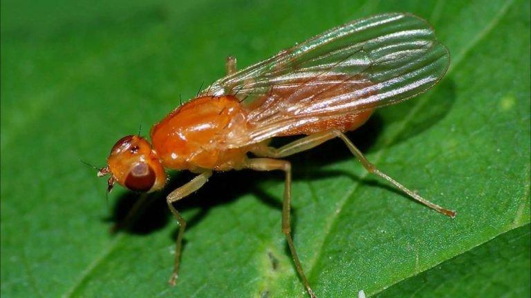 Морковная муха фото как с ней бороться народные средства