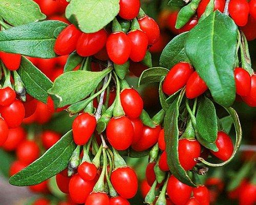 Ягоды Годжи выращивание и уход, где купить саженцы Дерезы