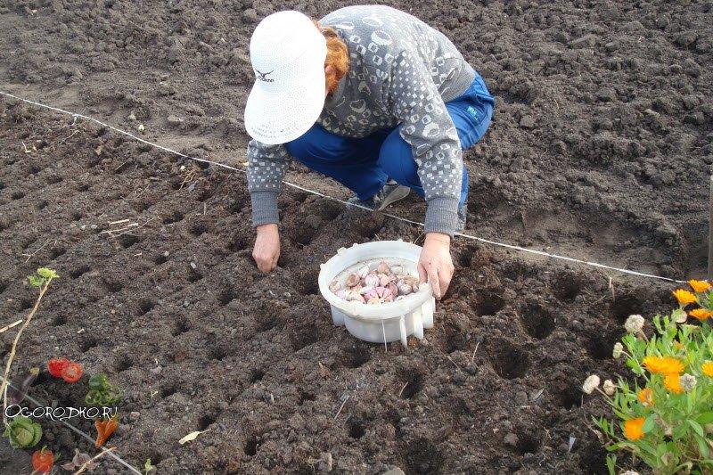 Сажаем лук под зиму! Когда, какой и как сажать лук под зиму?
