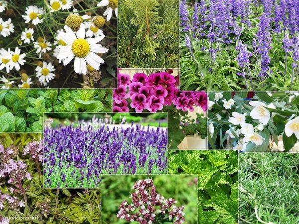 Лекарственные травы и растения - сбор и заготовка, лечение и применение, название и фото