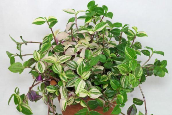 10 комнатных растений, которые легко получить из черенков. Как черенковать? Список с фото