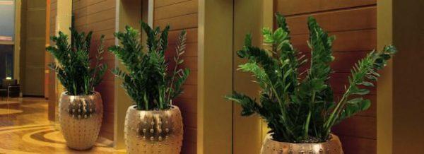 Замиокулькас уход за долларовым деревом в домашних условиях с фото и видео