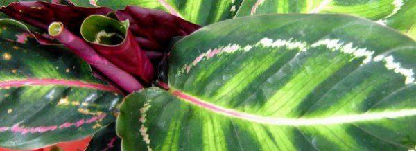 Калатея все о посадке и размножении, уходе за цветком в домашних условиях с фото и видео