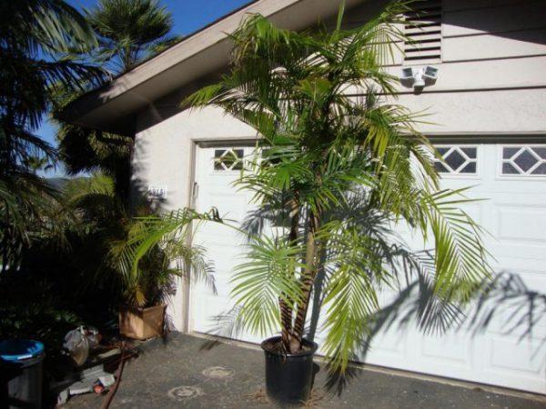 Комнатные пальмы фото и названия самых капризных
