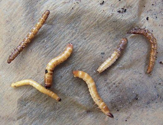 Как избавиться от проволочника - методы борьбы с жуком