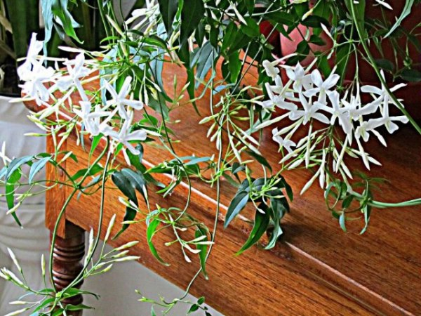 Жасмин - виды, выращивание, уход в домашних условиях с фото