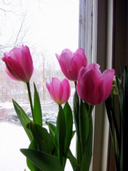 Выгонка тюльпанов в домашних условиях - фото в помощь