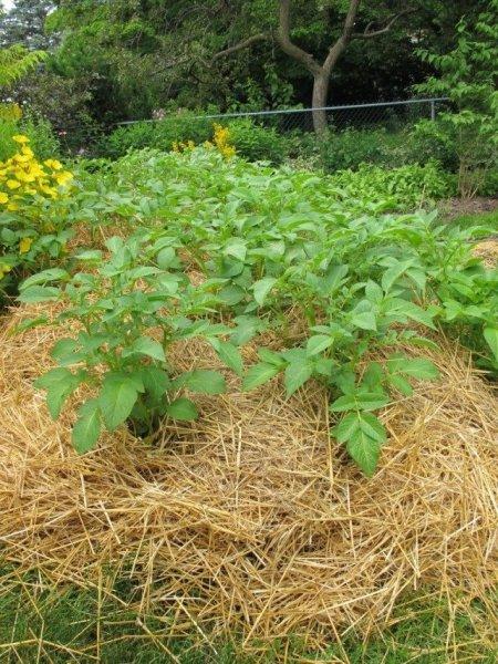 Картофель под соломой - посадка, выращивание и уход с фото и видео