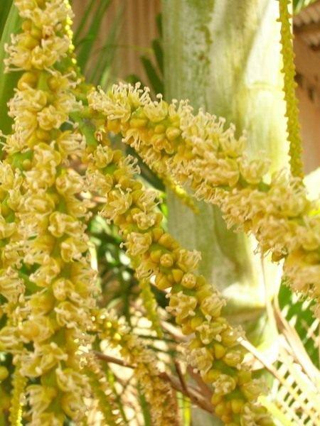 Хризолидокарпус - уход в домашних условиях, фото и видео пальмы