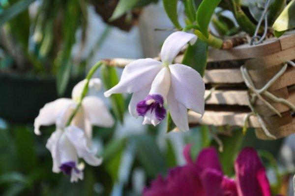 Лелия орхидея — самая деликатная среди орхидей. Виды, уход в домашних условиях. Фото и видео