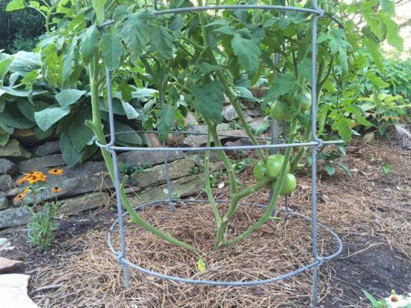 Как пасынковать помидоры правильно в теплице и открытом грунте