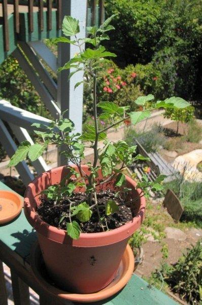 Какие семена помидоров выбрать - характеристики сортов с фото