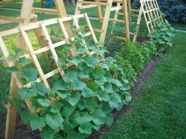 Как получить богатый урожай огурцов и как продлить плодоношение