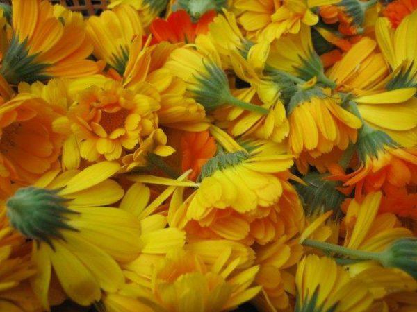 Лекарственные растения фото и описание для дачи и сада