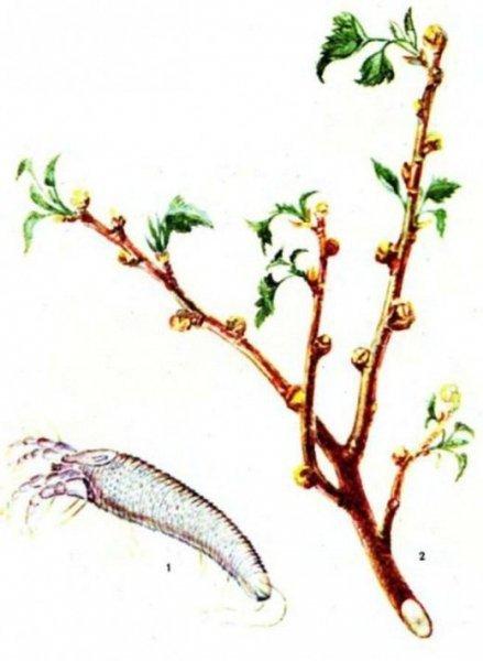 Почковый клещ на смородине - меры борьбы весной и осенью