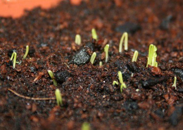 Лук-батун от А до Я - посадка семенами и рассадой, уход