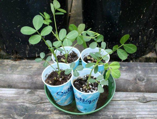 Арахис выращивание в домашних условиях