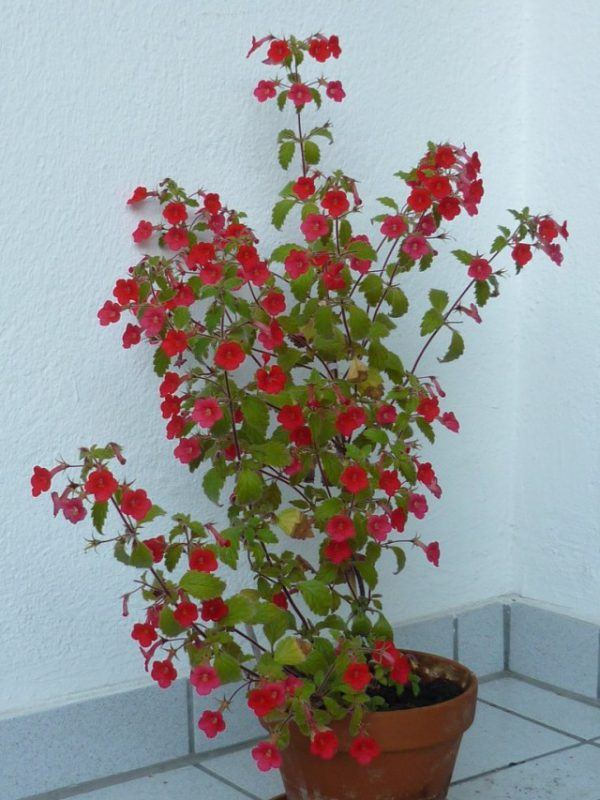 Лучшие комнатные растения с простыми цветками. Классические цветы с фото и описанием