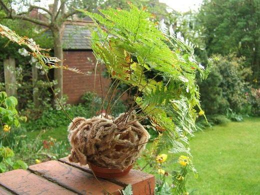 Папоротник на подоконнике - выращивание и уход с фото и видео