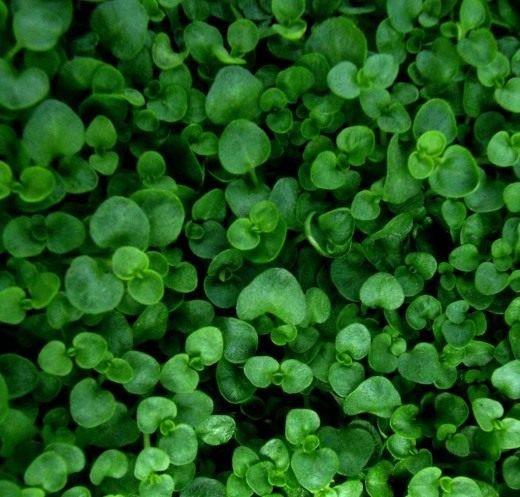 Мята выращивание и уход в открытом грунте, лечебные свойства